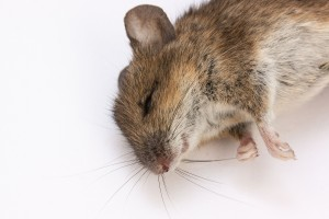mouse-350063_1920
