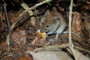 mouse-385095_1920