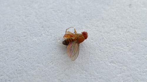 Drosophilidae photo